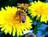 photo of dandelion in full bloom with bees an herbal source of vitamin C