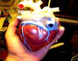 photo of the circulatory system of the human heart model