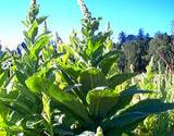 photo of mullein growning in garden a good herbal source of manganese