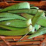 photo of a basket full of aloe leaves