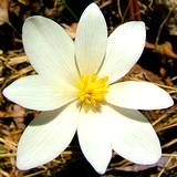 a close-up photo of herbal bloodroot in full bloom