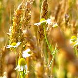 a photo of a field of chamomile and wheat a natural source of vitamin B3 niacin