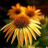 photo of the flower of Echinacea an herbal source of Vitamin C
