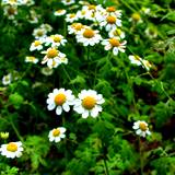 photo for herb guide a field of feverfew