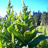 photo of mullien growing in an herb garden a natural source of vitamin B3 niacin