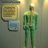 photo of the human nervous system display