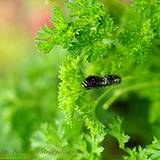 photo of fresh parsley a natural herbal source of zinc