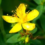 close-up photo of herbal St. Johns wort