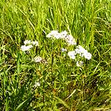 photo of yarrow growing wild in a field an herbal source of vitamin C
